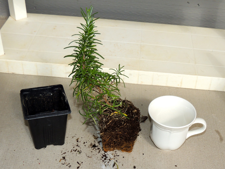 replant-rosemary-plant-tea-cup