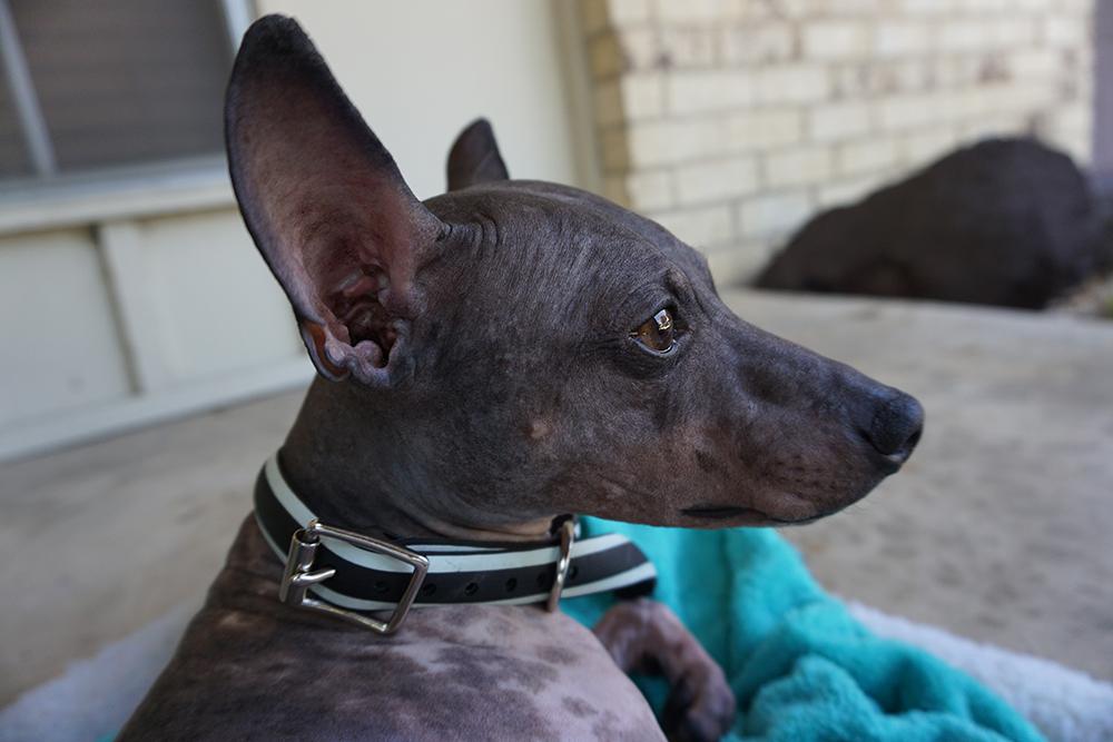Laura Zabo - Boston - american hairless rat terrier - recycled tire dog collar and leash