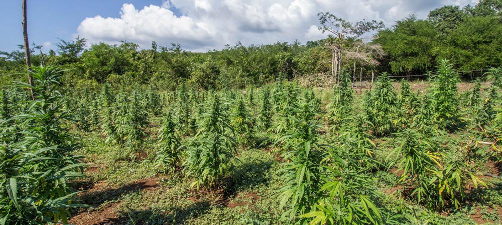 sustainable industrial hemp uses