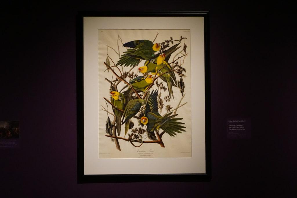 carolina parakeet - john james audubon - nature's nation at crystal bridges