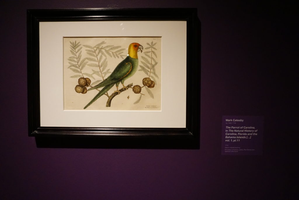 the parrot of the carolina - mark catesby - nature's nation at crystal bridges museum