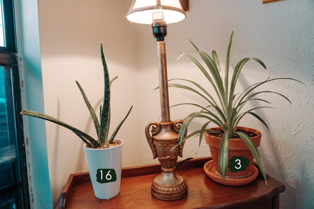 old world new house plant tour - aloe vera & spider plant